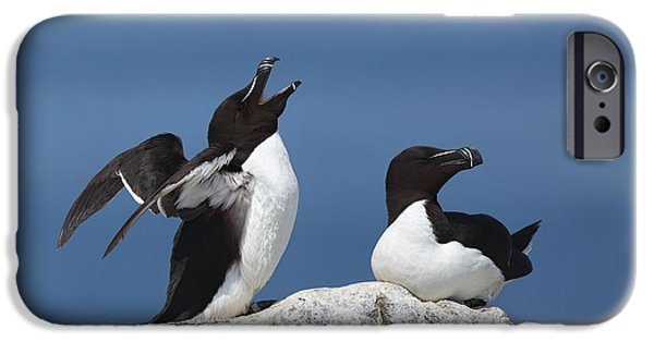 Razorbill iPhone Cases - Razorbills iPhone Case by Daniel Behm