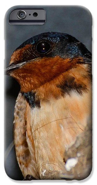 Barn Swallow iPhone Cases - Ready to Fledge iPhone Case by Amy Porter