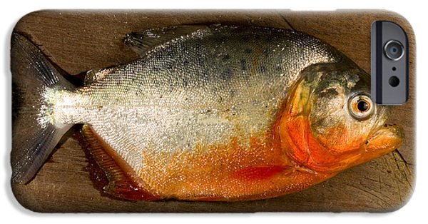 Piranha iPhone Cases - Red-bellied Piranha iPhone Case by Gregory G. Dimijian, M.D.