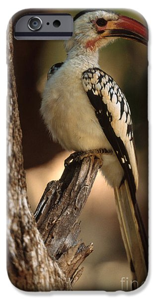 Hornbill iPhone Cases - Red-billed Hornbill iPhone Case by Art Wolfe