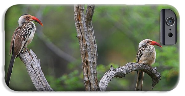 Hornbill iPhone Cases - Red-billed Hornbills iPhone Case by Bruce J Robinson