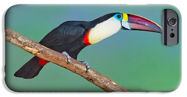 Toucan iPhone Cases - Red-billed Toucan iPhone Case by Anthony Mercieca