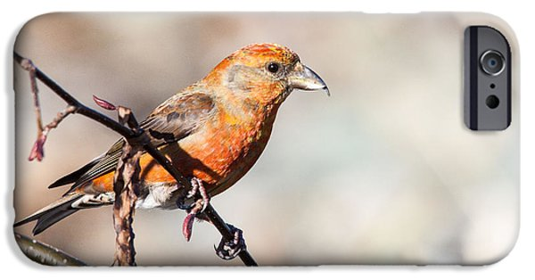 Crossbill iPhone Cases - Red Crossbill iPhone Case by Claude Dalley