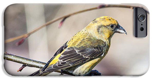 Crossbill iPhone Cases - Red Crossbill-female iPhone Case by Claude Dalley