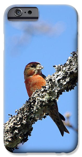 Crossbill iPhone Cases - Red Crossbill Finch iPhone Case by Marilyn Wilson