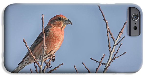 Crossbill iPhone Cases - Red Crossbill male iPhone Case by Jivko Nakev