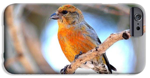 Crossbill iPhone Cases - Red Crossbill on Aspen iPhone Case by Marilyn Burton