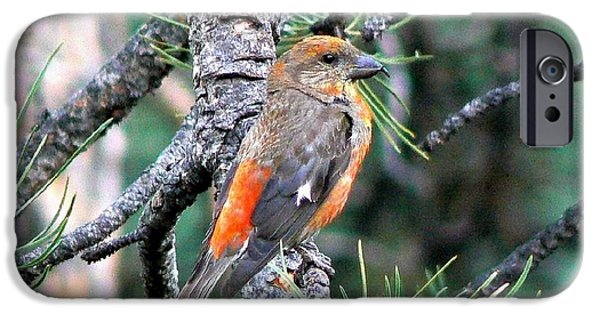 Crossbill iPhone Cases - Red Crossbill on Pine Tree iPhone Case by Marilyn Burton