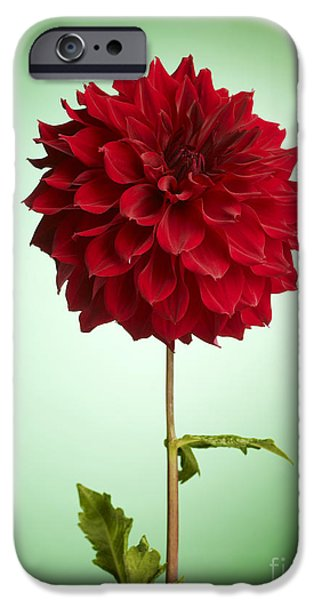 Business iPhone Cases - Red Dahlia iPhone Case by Tony Cordoza