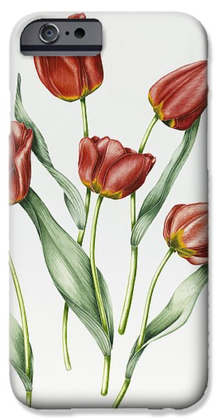 Botanical Paintings iPhone Cases - Red Darwin Tulips iPhone Case by Sally Crosthwaite
