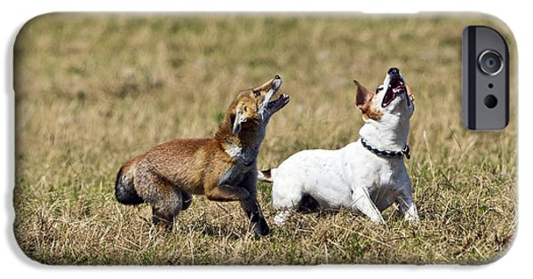 Dog Playing Ball iPhone Cases - Red Fox Cub And Jack Russell Playing iPhone Case by Brian Bevan