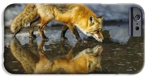Red Fox iPhone Cases - Red Fox Has A Drink iPhone Case by Susan Candelario