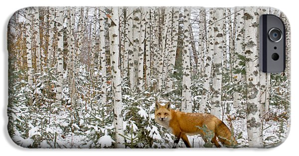 Winter In Maine iPhone Cases - Red Fox in Birches iPhone Case by Jack Zievis