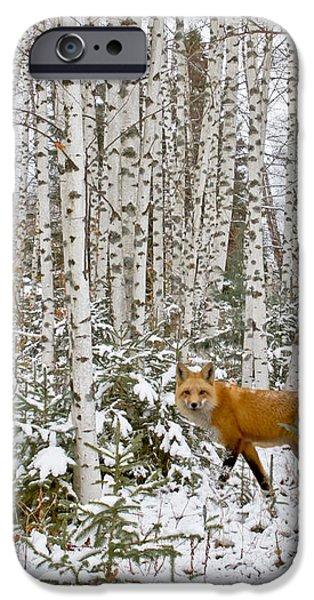 Red Fox in Birches iPhone Case by Jack Zievis
