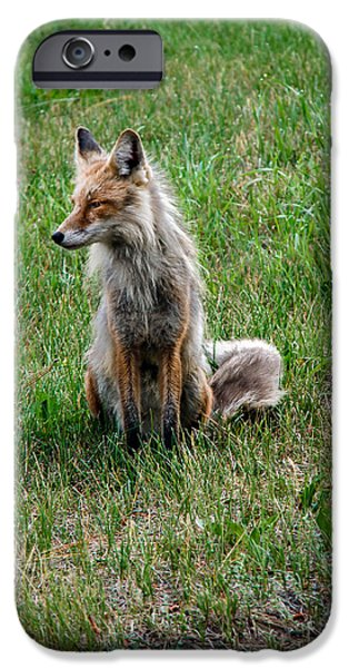 Bushy Tail iPhone Cases - Red Fox Portrait iPhone Case by Robert Bales