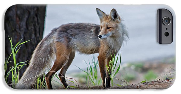 Bushy Tail iPhone Cases - Red Fox iPhone Case by Robert Bales