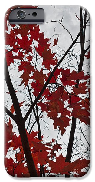 Maple Season iPhone Cases - Red Maple Branches iPhone Case by Ana V  Ramirez