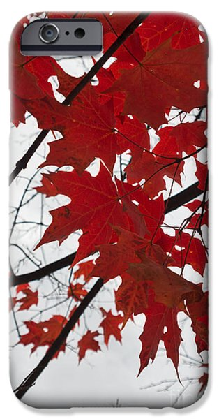 Fall iPhone Cases - Red Maple Leaves iPhone Case by Ana V  Ramirez