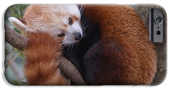 Smithsonian iPhone Cases - Red Panda iPhone Case by Jack Nevitt