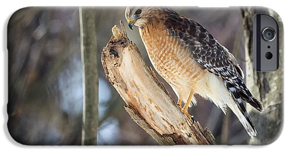 Hawk iPhone Cases - Red-Shouldered Hawk Portrait Square iPhone Case by Bill  Wakeley