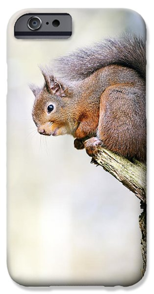 Bushy Tail iPhone Cases - Red Squirrel on tree branch iPhone Case by Grant Glendinning