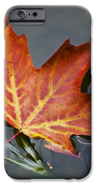 Red Sugar Maple Leaf iPhone Case by Christina Rollo