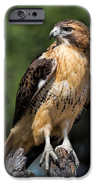 Red Tail Hawks iPhone Cases - Red Tail Hawk Portrait iPhone Case by Dale Kincaid