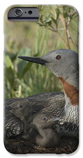 Red-throated Loon With Day Old Chicks iPhone Case by Michael Quinton