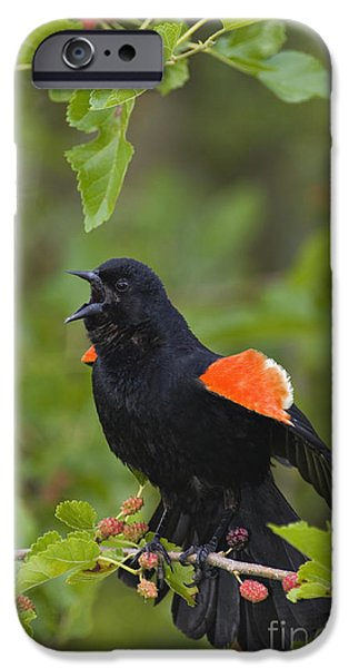 Indiana Springs iPhone Cases - Red-winged Blackbird - D008481 iPhone Case by Daniel Dempster