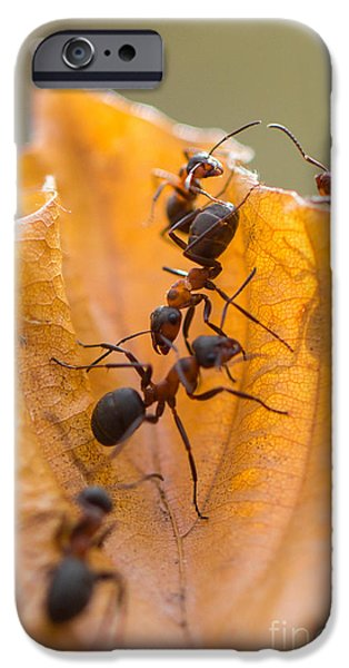 Mounds iPhone Cases - Red Wood Ants Path iPhone Case by Jivko Nakev