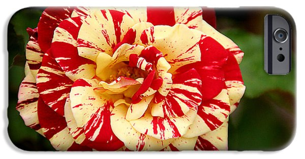 Interior Still Life iPhone Cases - Red Yellow Rose iPhone Case by Christine Till