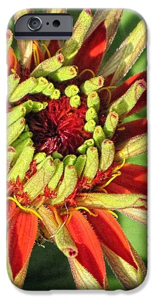 3.14 iPhone Cases - Red Zinnia Early Bloom  iPhone Case by Doug Morgan