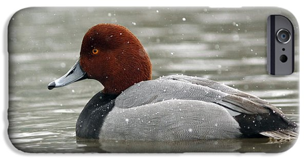 Storm iPhone Cases - Redhead Duck in a Winter Snow Storm iPhone Case by Inspired Nature Photography By Shelley Myke