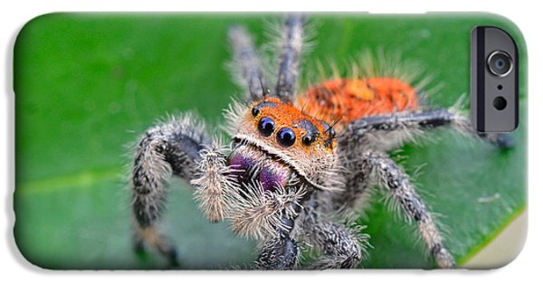 Jumping Spiders iPhone Cases - Regal Jumping Spider iPhone Case by John Serrao