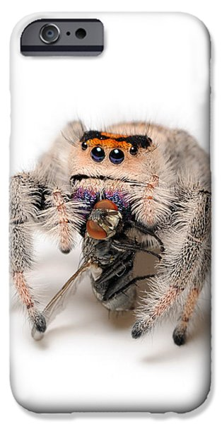 Jumping Spiders iPhone Cases - Regal Jumping Spider With Prey iPhone Case by Scott Linstead