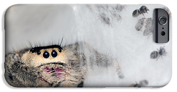 Jumping Spiders iPhone Cases - Regal Jumping Spiderlings And Mother iPhone Case by Scott Linstead