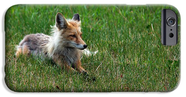 Bushy Tail iPhone Cases - Relaxing Red Fox iPhone Case by Robert Bales