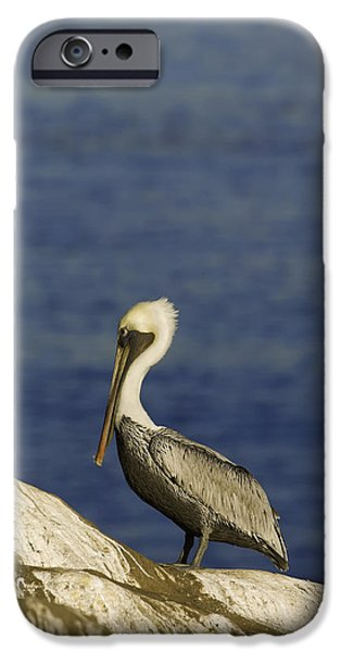 Sea Birds iPhone Cases - Resting Pelican iPhone Case by Sebastian Musial