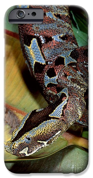 Snake iPhone Cases - Rhino Viper iPhone Case by Gregory G. Dimijian, M.D.