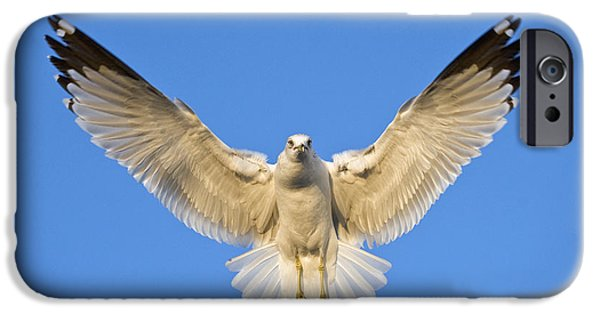 Freedom iPhone Cases - Ring Billed Gull Larus Delawarensis iPhone Case by Panoramic Images