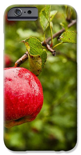 Ripe apples. iPhone Case by John Greim