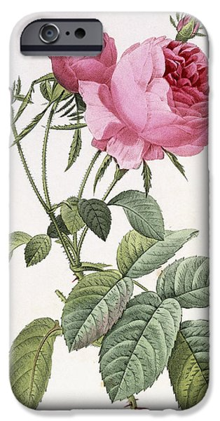 In Bloom Paintings iPhone Cases - Rosa centifolia foliacea iPhone Case by Pierre Joseph Redoute