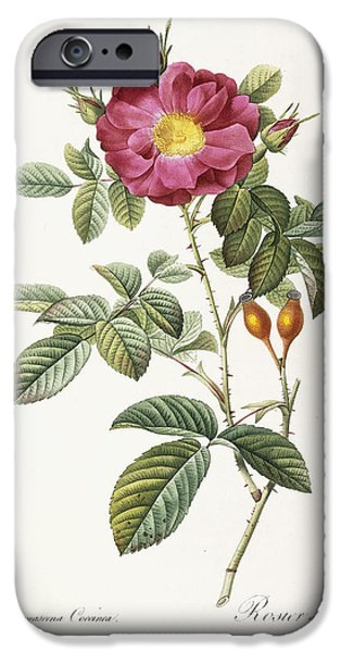 Tasteful Art iPhone Cases - Rosa Damascena Coccina iPhone Case by Pierre Joseph Redoute