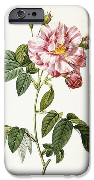 Tasteful Art iPhone Cases - Rosa Gallica Versicolor iPhone Case by Pierre Joseph Redoute