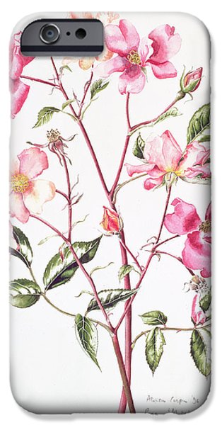 Flora Drawings iPhone Cases - Rosa Mutabilis iPhone Case by Alison Cooper