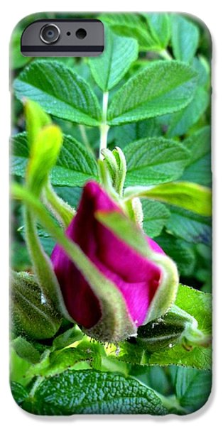 Androscoggin iPhone Cases - Rose Bud iPhone Case by Mike Breau
