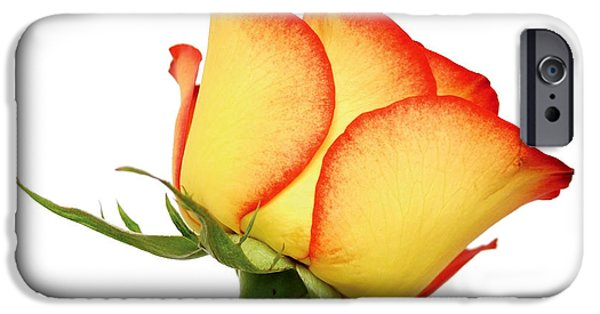Isolated Pyrography iPhone Cases - Rose closeup iPhone Case by Jozsef Szasz-Fabian
