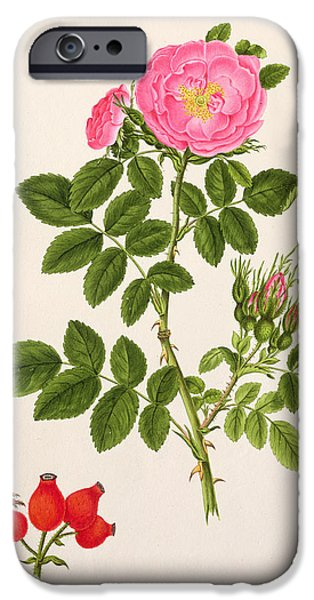 Rose iPhone Cases - Rose Eglanteria iPhone Case by T Goetz