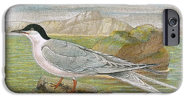 Tern iPhone Cases - Roseate Tern iPhone Case by English School