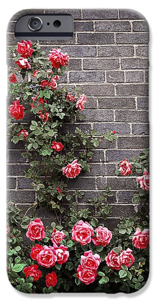 Roses on brick wall iPhone Case by Elena Elisseeva
